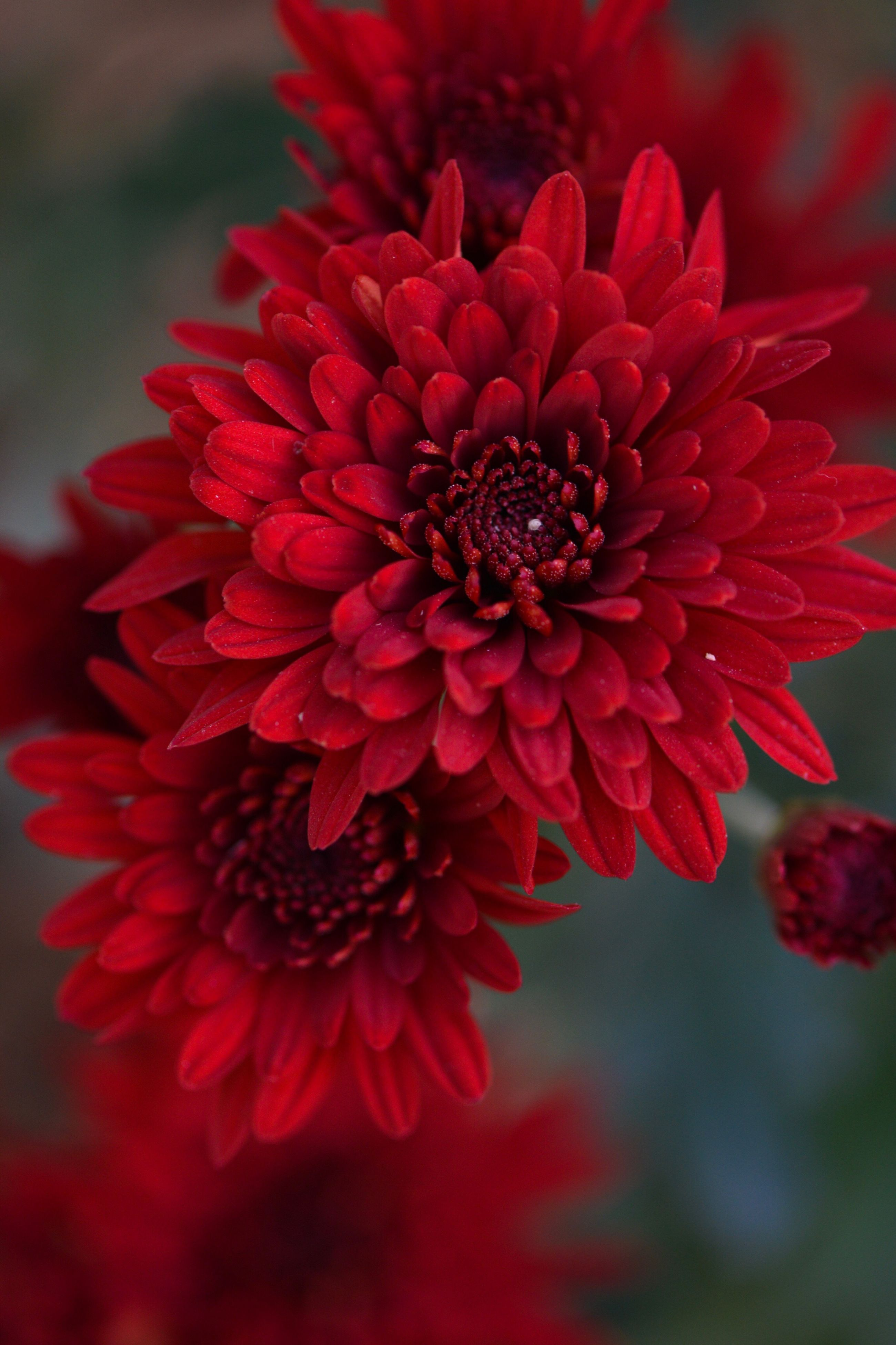 flower, petal, fragility, beauty in nature, freshness, nature, flower head, red, close-up, blooming, growth, pollen, zinnia, no people, outdoors, day, dahlia