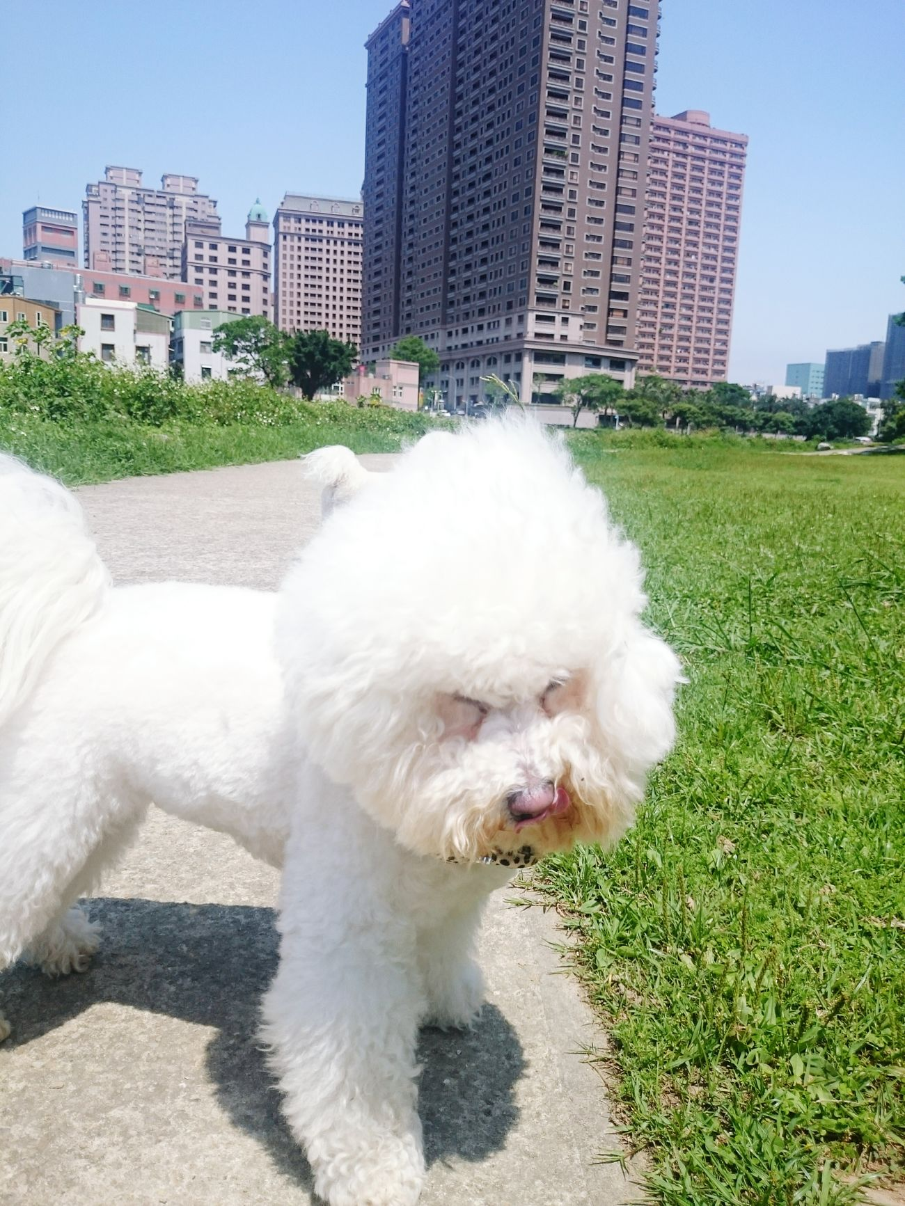 A windy day. Dog Pet Bichonfrise Bichon 比熊犬 比熊 ビションフリーゼ 狗 小狗 Puppy
