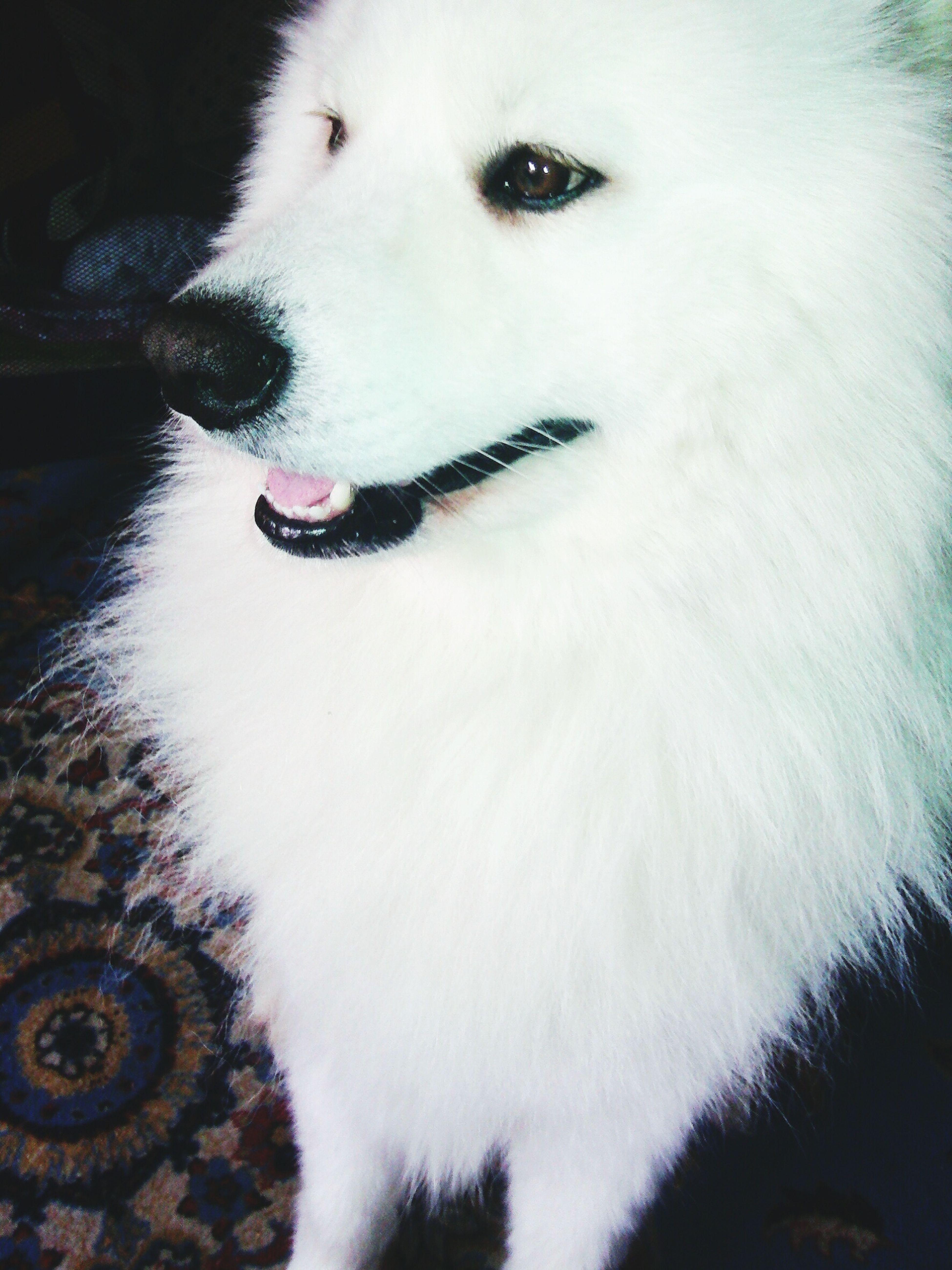 White Pet Samoyed 💞💞💜💜