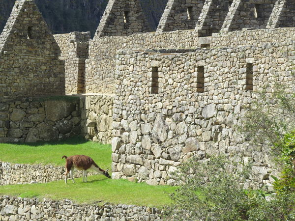 Ancient Civilization Ancient Ruins Animal Themes Animals In The Wild Inca Inca Ruins Llama Llama Machu Pichu Machu Picchu Machu Picchu - Peru Machu Pichu Peru Sacred Valley - Peru Sacred Valley Of The Incas Travel The World