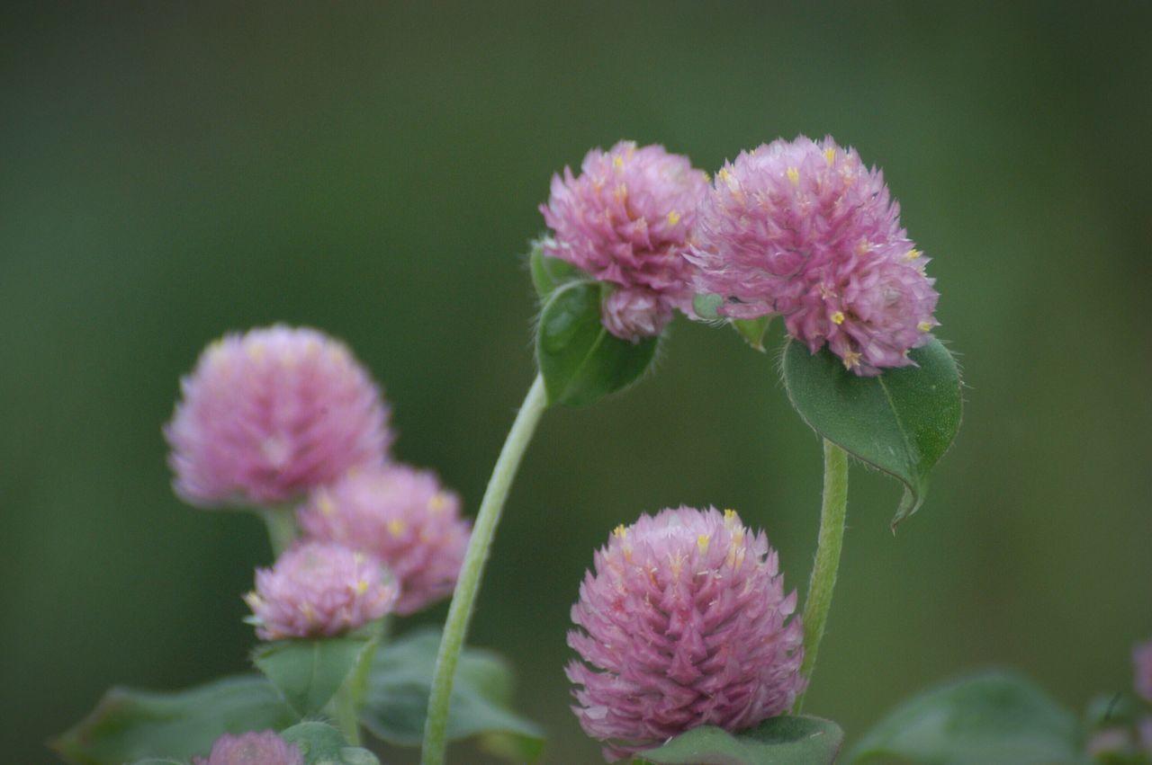 寄り添う。 Nature センニチコウ Flower Flowers The OO Mission