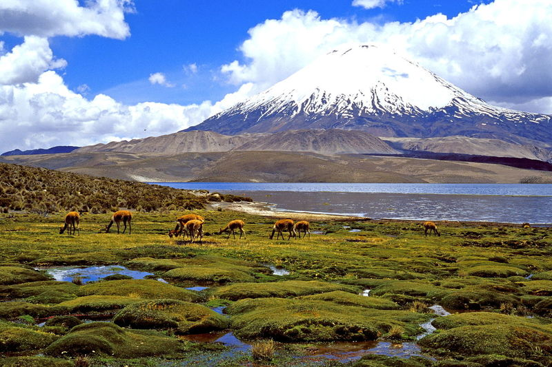 Alpacas Andes Beauty In Nature Chungará Lake Cloud - Sky Day Grazing Grazing Animals Lamas Landscape Large Group Of Animals Lauca National Park Mammal Mountain Nature Outdoors Parinacota Scenics Sky The Andes Vacations Volcano Water