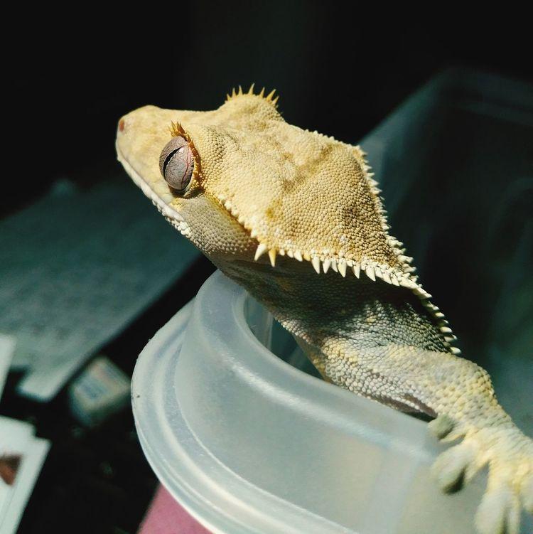 Rhacodactylus Ciliatus Ciliatus Gecko Geckolove Gecko Eye