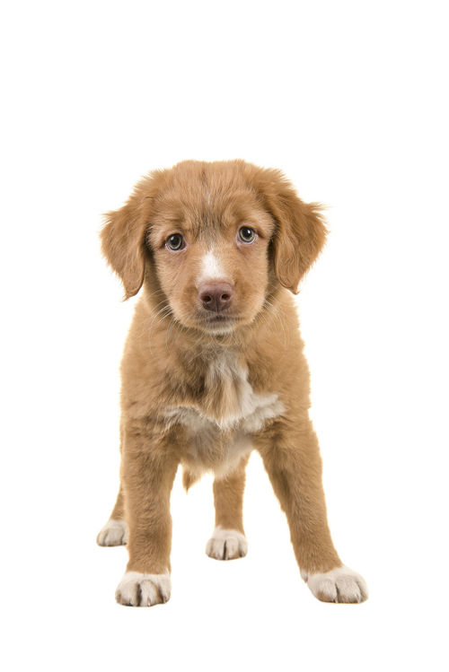 Cute standing nova scotia duck tolling retriever puppy facing the camera seen from the front isolated on a white background Dog Looking At Camera Nova Scotia Duck Tolling Retriever Pet Puppy Purebred Dog Retriever Standing Studio