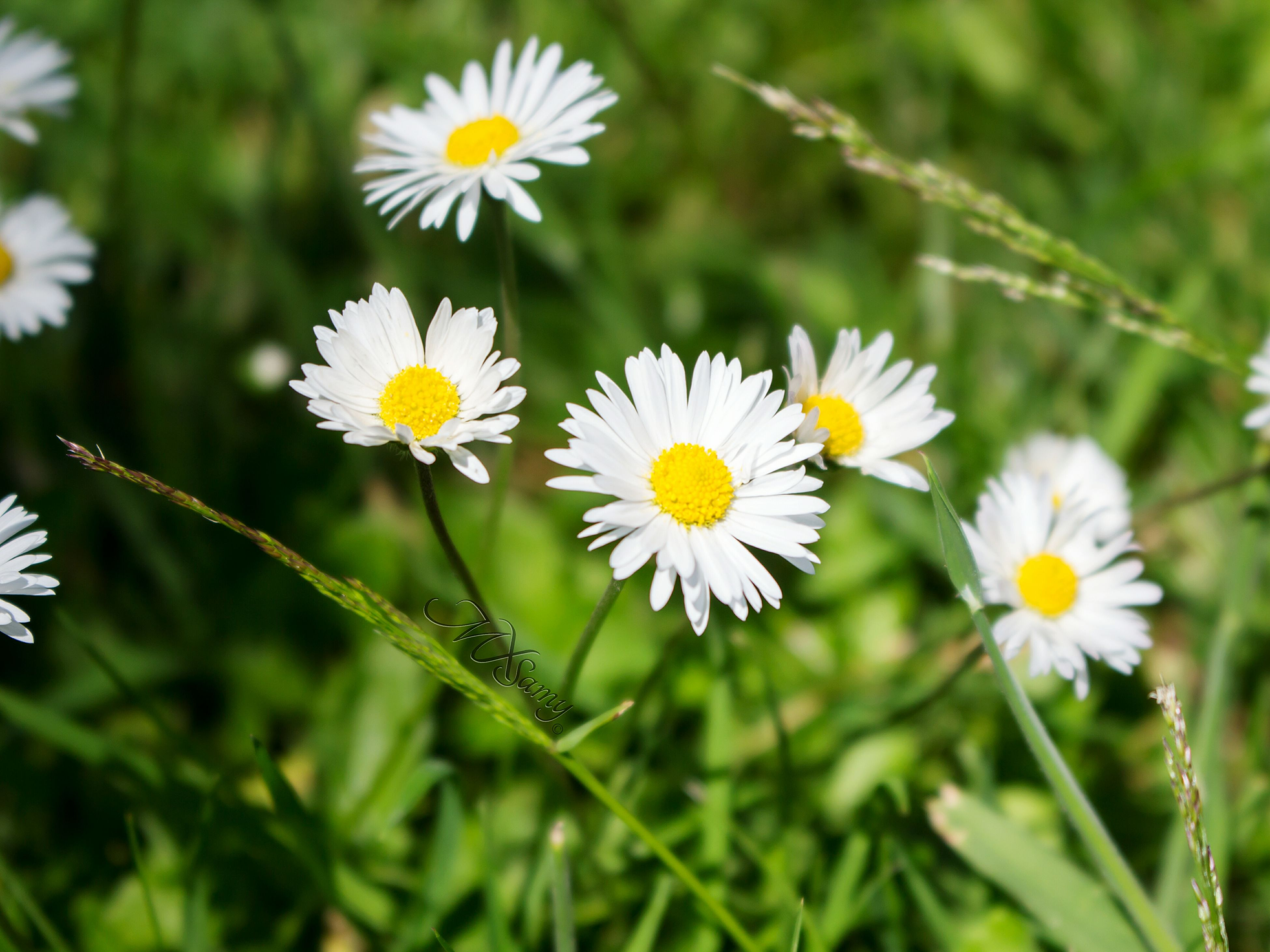 flower, freshness, white color, fragility, growth, petal, daisy, flower head, beauty in nature, nature, focus on foreground, blooming, plant, close-up, pollen, field, stem, yellow, day, in bloom