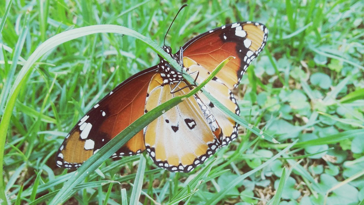 butterfly - insect, insect, butterfly, animal themes, animals in the wild, animal wing, one animal, nature, no people, close-up, animal markings, grass, green color, beauty in nature, growth, outdoors, day, fragility, animal wildlife, leaf, spread wings, freshness