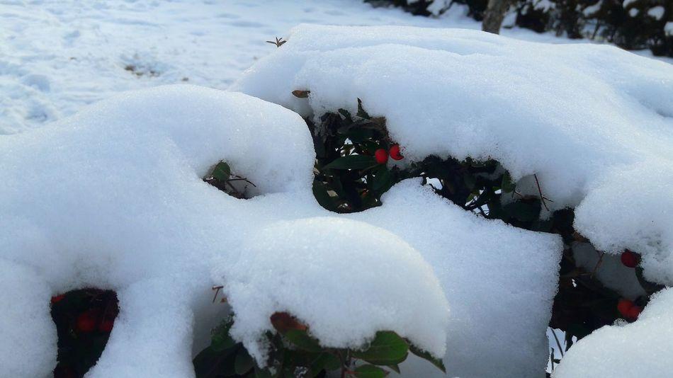 Snow Winter Cold Temperature Outdoors Nature Beauty In Nature Day No People Pyracantha Red Berry Tree çit Bitkileri Fence Tranquility Kırmızı Ateş Dikeni Meyveli Plant Nature Fance Kar Biriken Guzellik