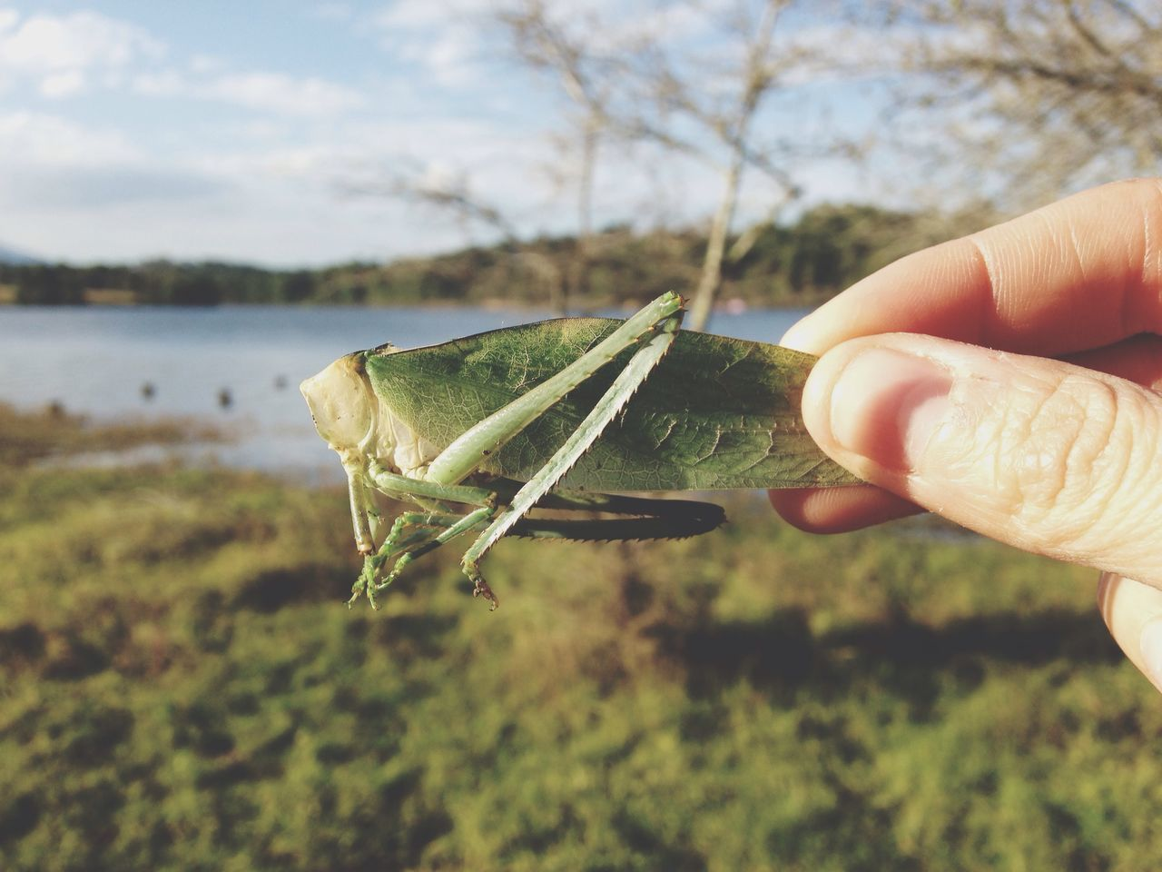 Close-Up Side View Of A Hand Holding Grasshopper