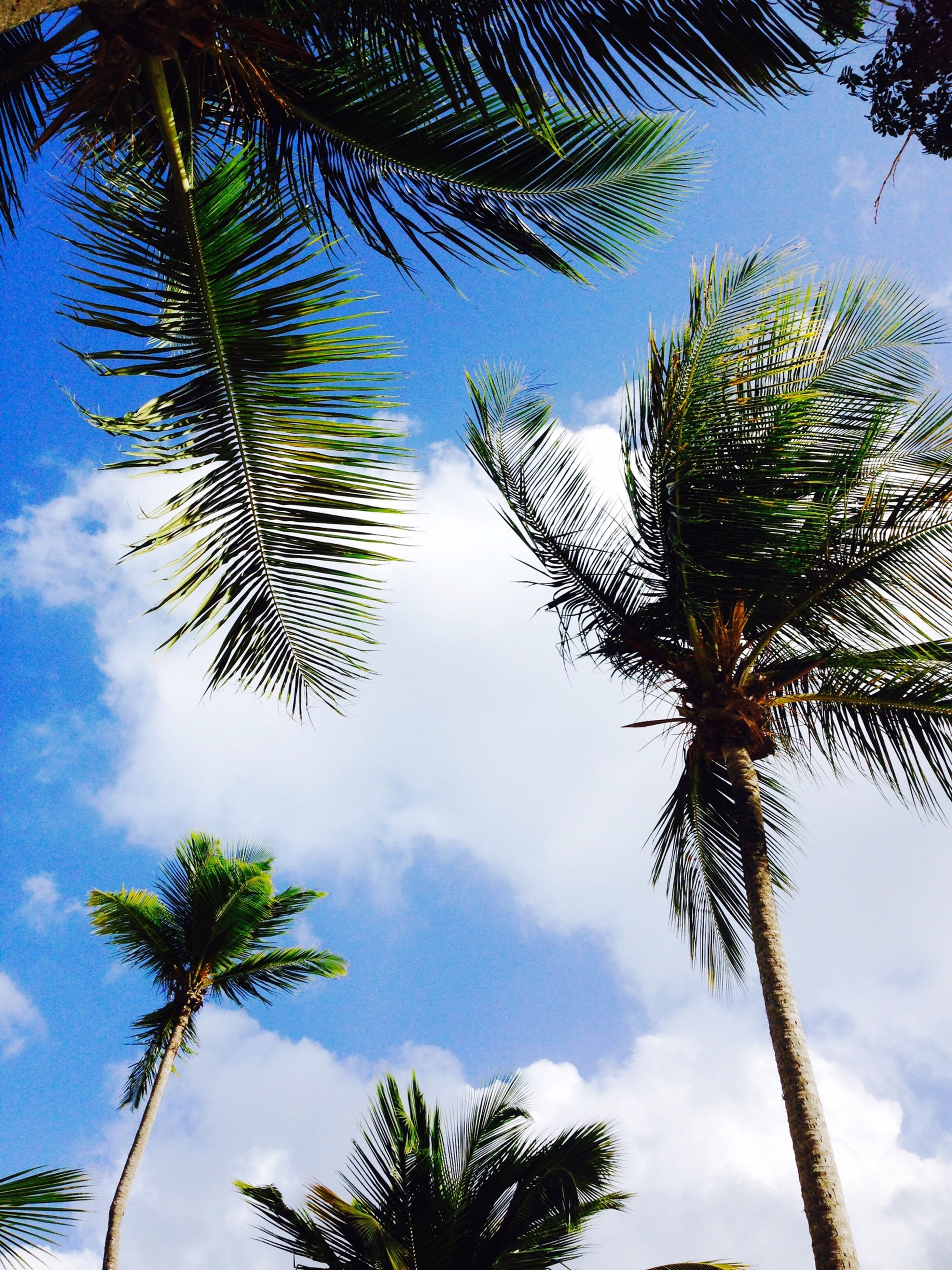 palm tree, low angle view, tree, sky, growth, cloud - sky, nature, tranquility, tree trunk, beauty in nature, cloud, branch, silhouette, palm leaf, scenics, coconut palm tree, cloudy, leaf, palm frond, blue