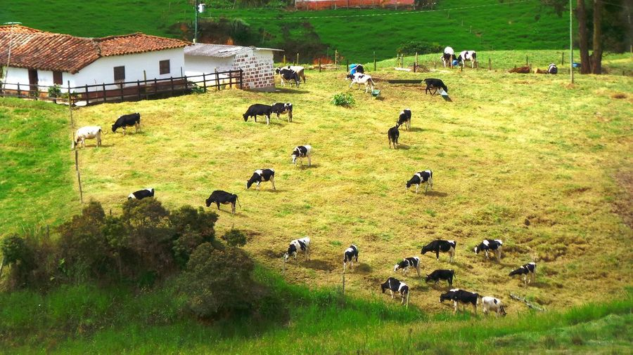 cows Nature_collection Cows Landscape Farm Farview Antioquia