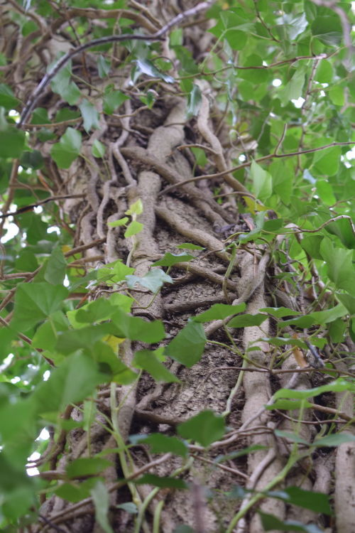 Ivy Roots Tree Nature Green Color Plant No People Outdoors Day Leaf Growth Tree Close-up Angle View Ivy Postcode Postcards Perspectives On Nature