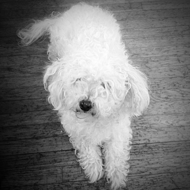 Small Dog A Small Dog Farm Life Pets Tinypets Blackandwhite Black And White Black & White Lovable