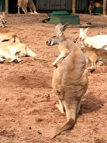 Kangaroo! Animal Wildlife Animals In The Wild Animal Themes Mammal Nature Animal Kangaroo Wildlife & Nature Wildlifepark Caversham Wildlife Park