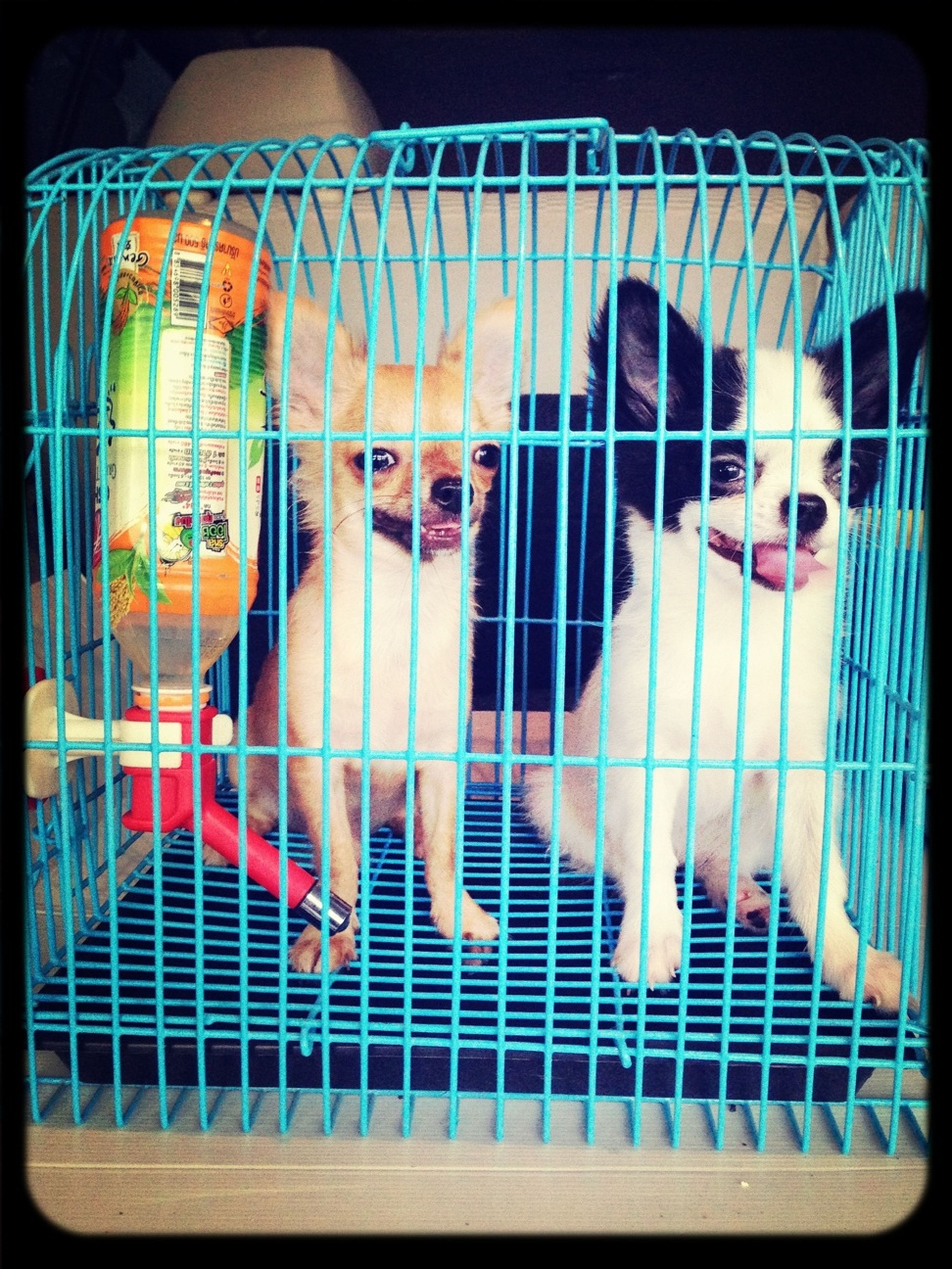animal themes, transfer print, lifestyles, cage, fence, playing, auto post production filter, childhood, men, leisure activity, indoors, full length, domestic animals, fun, playful, livestock, metal, safety