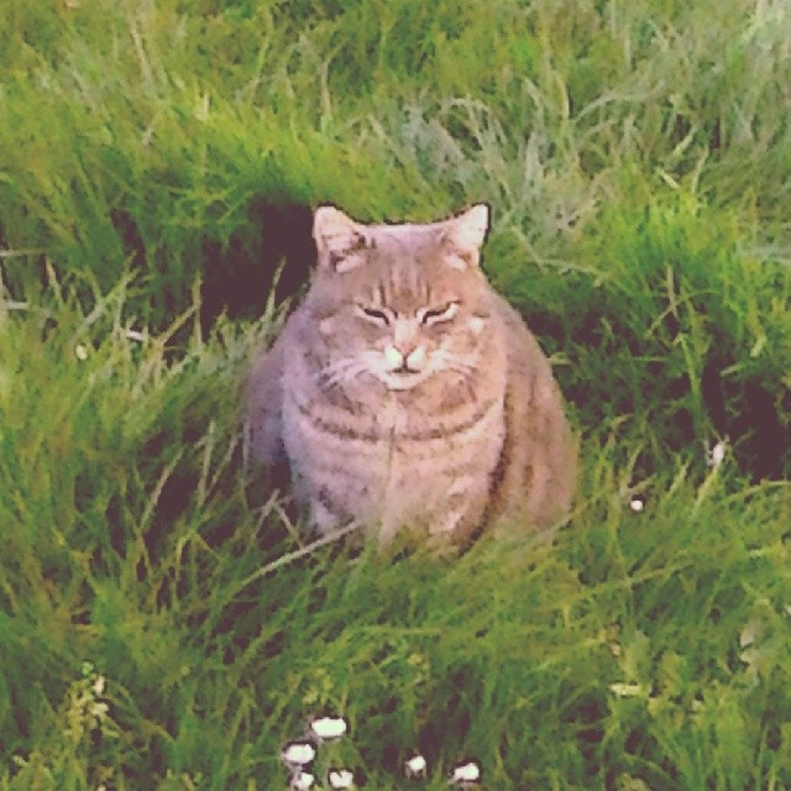 domestic cat, domestic animals, cat, pets, mammal, feline, grass, animal themes, one animal, whisker, looking at camera, field, portrait, grassy, green color, plant, growth, relaxation, staring, nature
