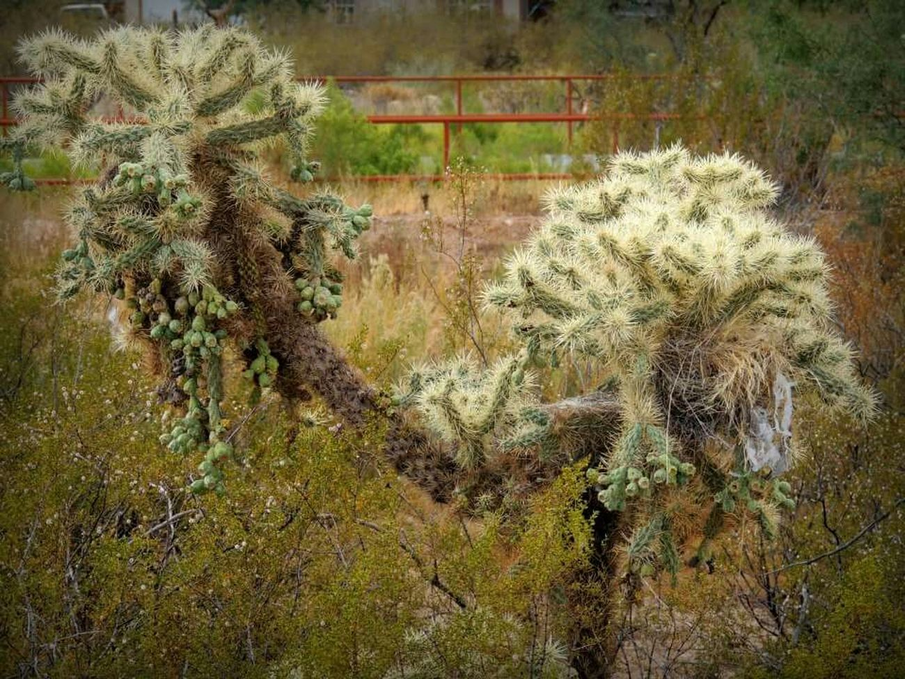 Deserts Around The World Taking Photos Check This Out Jumpingcactus Sonoran Desert Arizona
