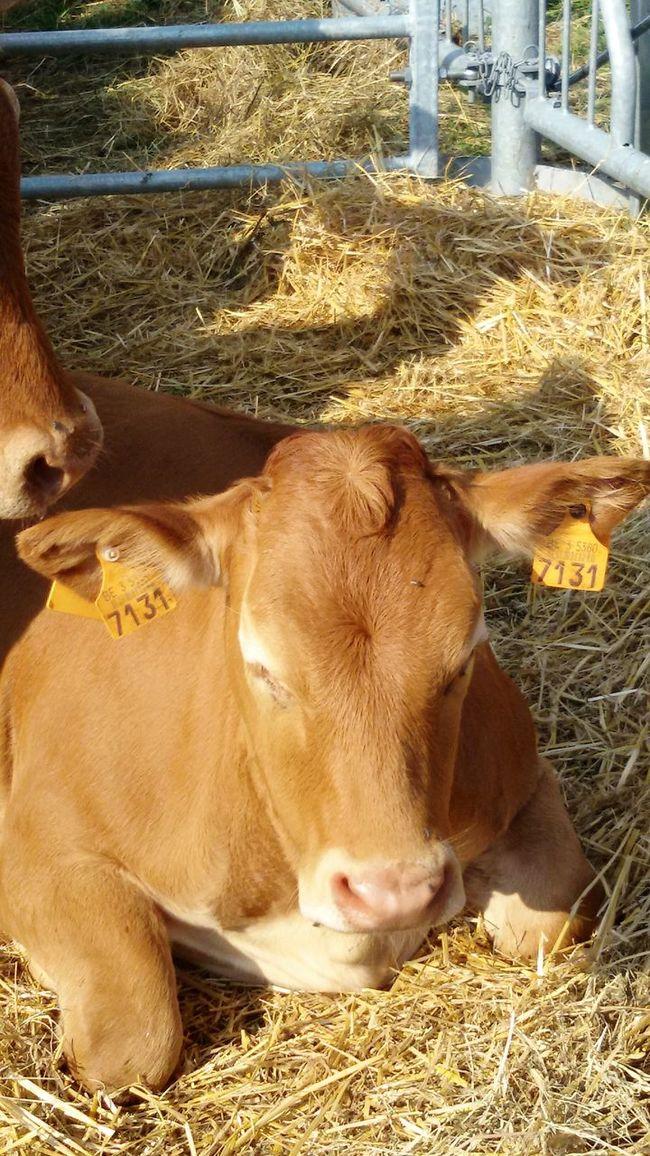 Animal Themes Animal Herbivorous Animal Head  Mucca