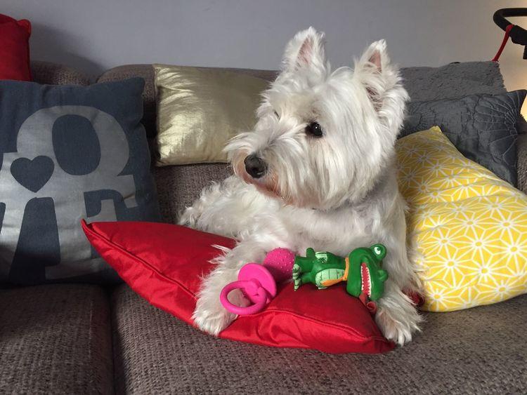 Tula First Eyeem Photo Tulawesty Westylove Westhighlandwhiteterrier Westy Moments Love Dog