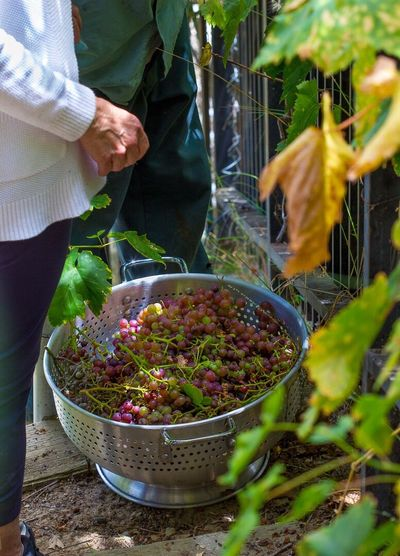 Growing grapes in your own backyard. Nothing like the amazing pleasure of of picking a grape fresh off the vine and popping into your mouth... Picoftheday Photooftheday Foodphotography Nofilter EyeEm Best Shots Eyeemphotography Food And Drink EyeEmBestPics Eye4photography  EyeEm Gallery Yummy Grapes Foodandwine Vineyard Fruit Food Foodie Foodlover Harvest Time Harvest Foodgasm