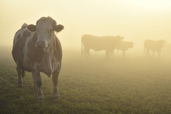 Herd Of Cow Standing On Grassy Field In Foggy Weather Backlight Bio Cow Cows Farbe Fog Fotograf Gegenlicht Hausrind Herd Of Cows Herde Horizontal Kuh Landscape Light Natur Nature Nebel Niemand Nutztier Viehweide