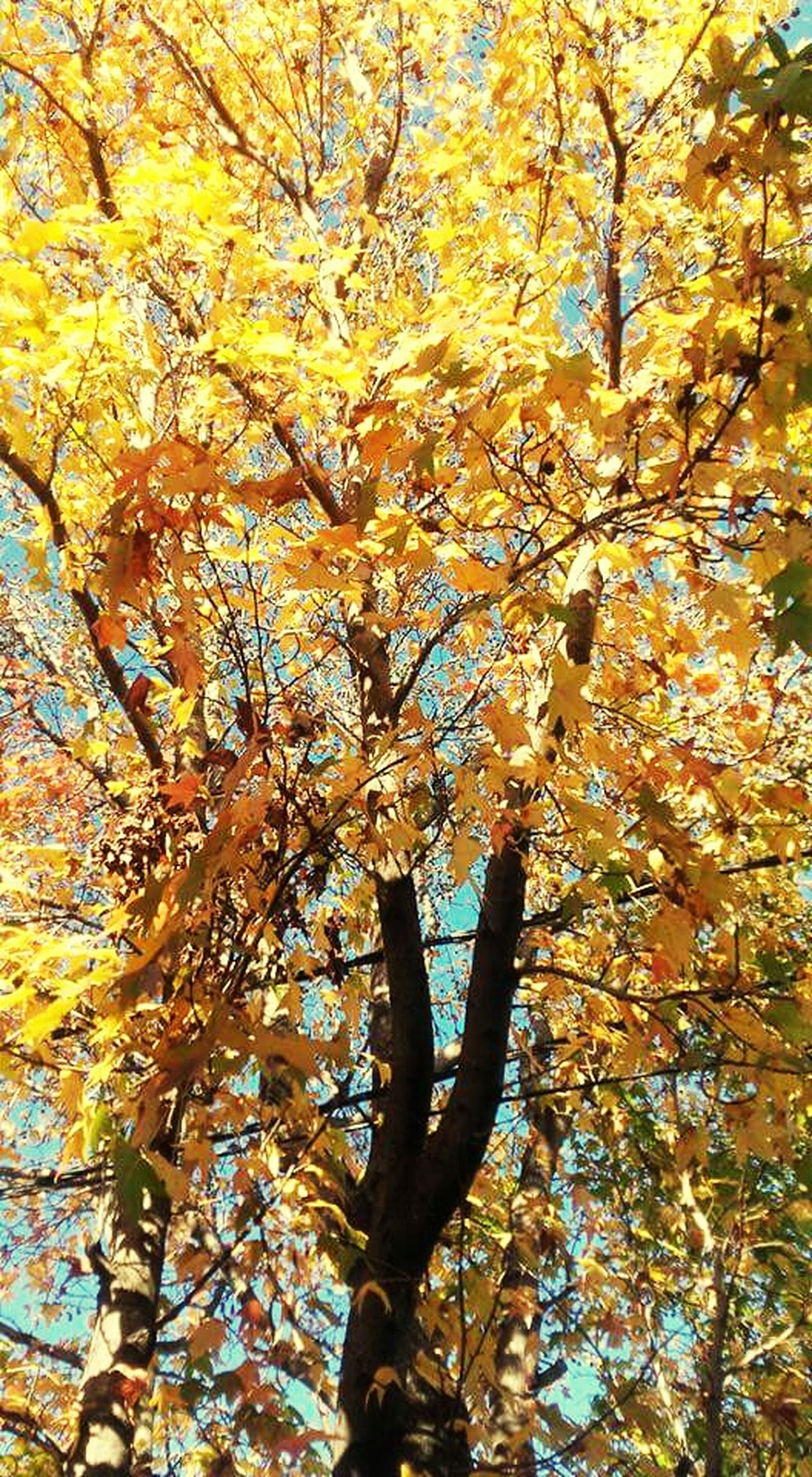autumn, tree, nature, low angle view, change, leaf, branch, beauty in nature, yellow, growth, outdoors, no people, day, backgrounds, close-up