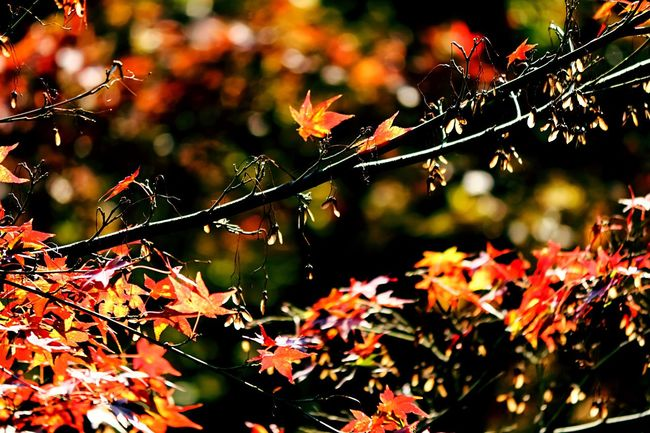 EyeEm Best Edits EyeEm Nature Lover Beautiful Nature Color Explosion Shadowplay The Red Maples In Autumn. Maple Leaves Darkness And Light Shadows & Lights Shadow-art Colorful Leaves Color Photography Coloful Maples From My Point Of View Nature Red Maplesleavs Light In The Darkness Autumn Colors Amazing Colours MapleLeaves Creative Light And Shadow Nature's Art - Tree Trunk