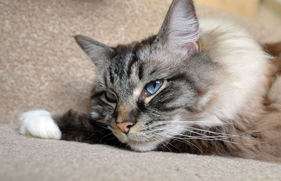 PEDIGREE RAGDOLL DAYDREAMING. Blue Eyes Cats Of EyeEm Cute Daydream Feline No People One Animal Pedigree Pets Corner Ragdoll Sleepy