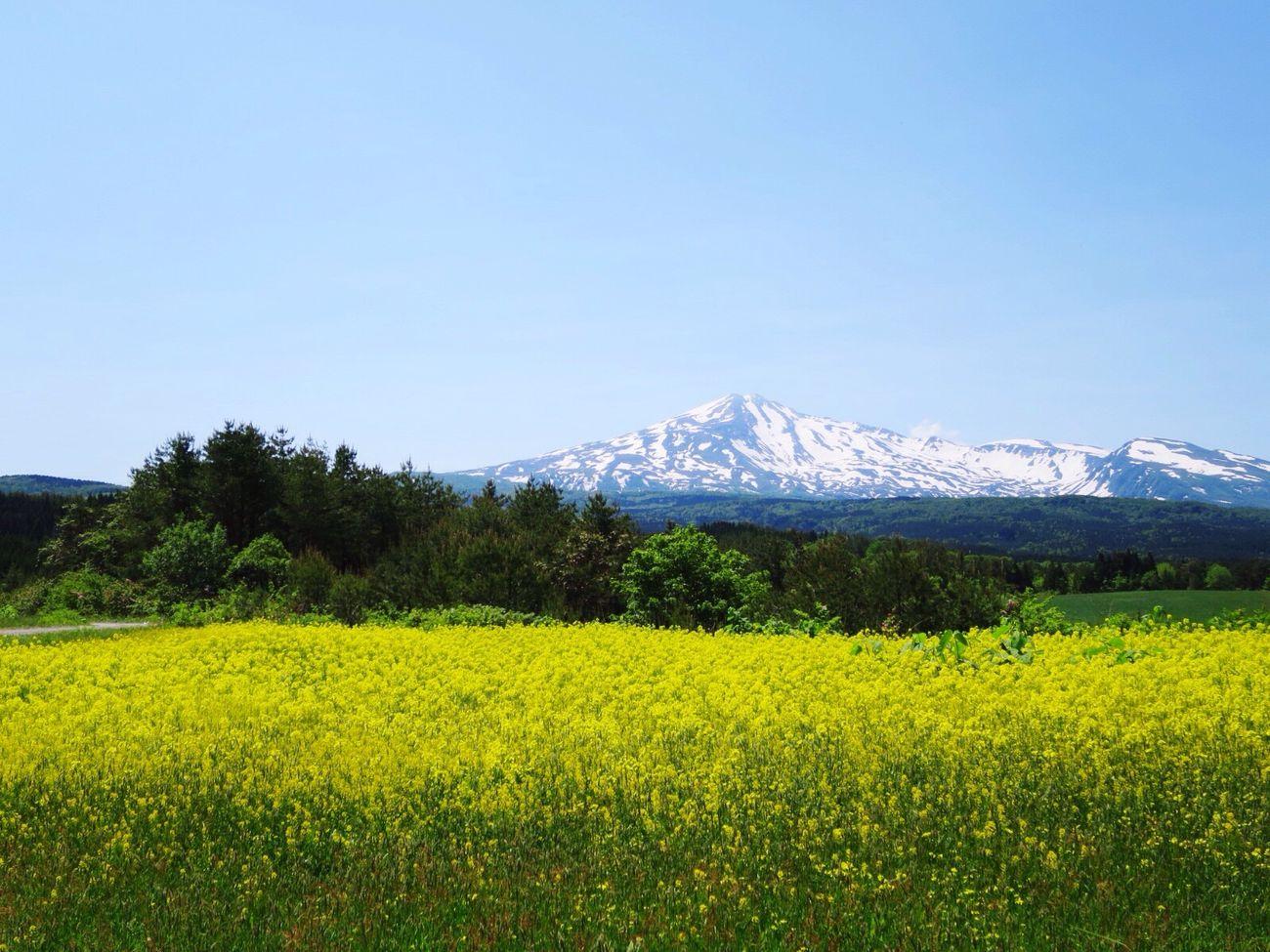 鳥海山 菜の花 春 Japan Spring Yellow Flowers Nature_collection Mt.chokaisan