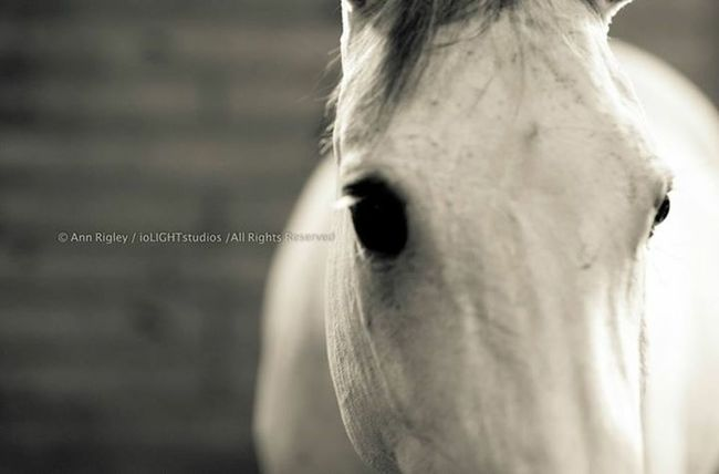 ©Ann Norsworthy-Rigley jaw Horses Natural Light IoLIGHTstudios  Horse
