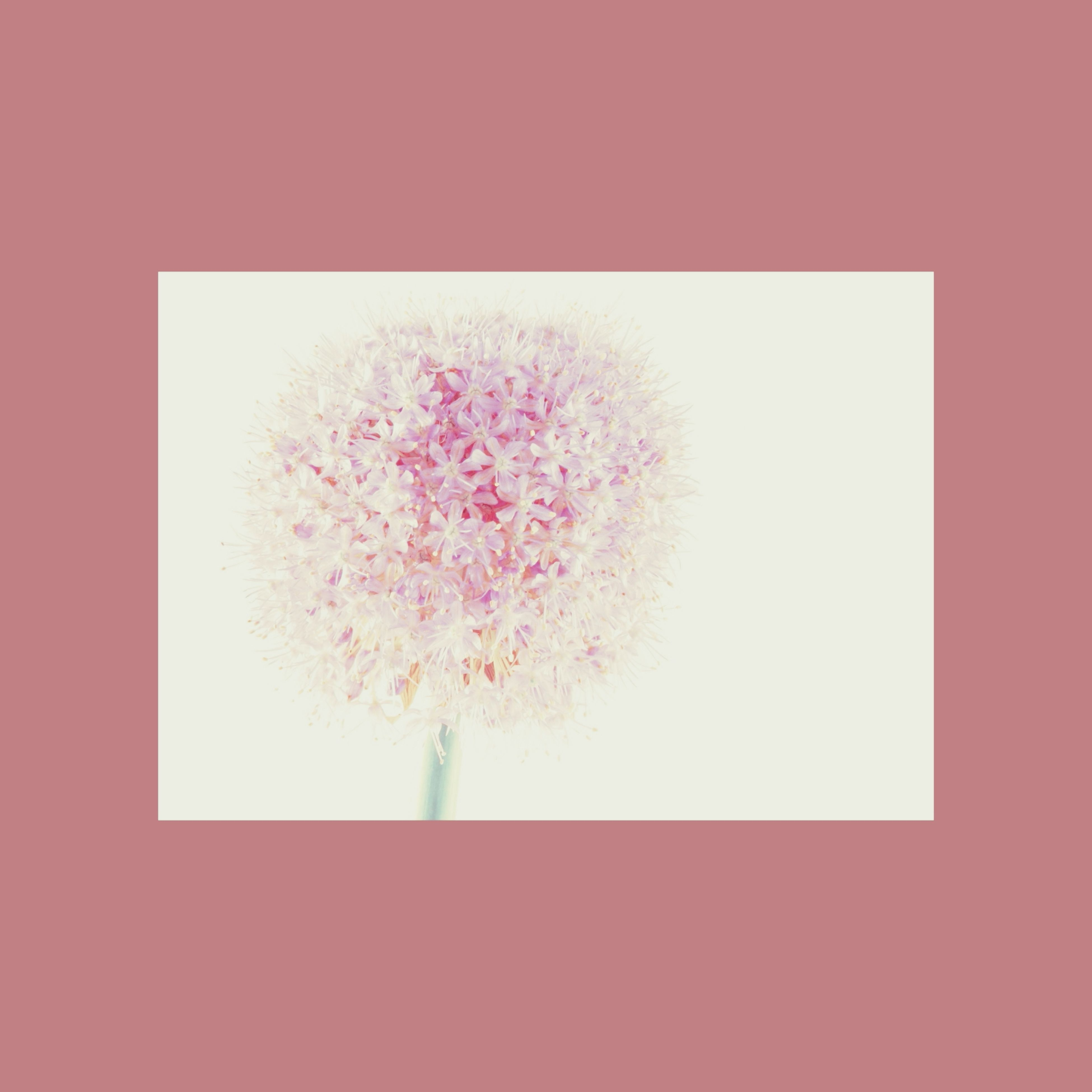 flower, copy space, freshness, growth, beauty in nature, indoors, nature, fragility, studio shot, close-up, red, plant, auto post production filter, no people, pink color, white background, petal, stem, day, branch