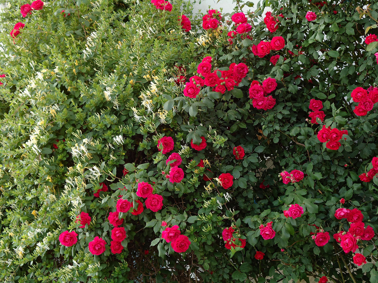 Diagonal red rose hedge. Blooms Bush Climbers Climbing Climbing Roses Clusters Diagonal Exuberant Flourishing Flowers Garden Garden Flowers Garden Roses Hedge Lush Foliage Ramblers Rambling Rose Red Roses Rosas Rose Bush Roses Shrubs Spring Flowers Spring May Spring Roses