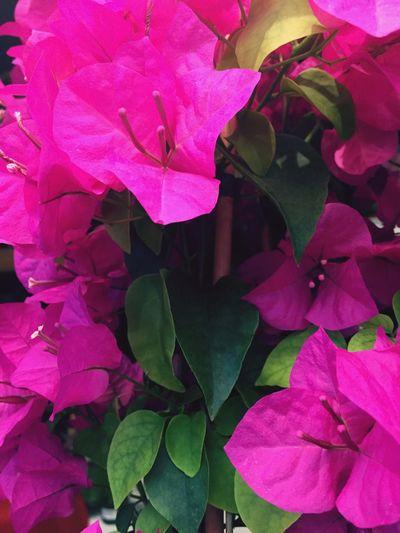 Dark Pink By Motorola First Eyeem Photo