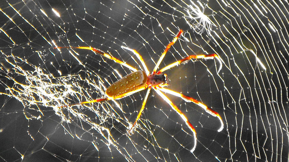 All aglow Banana Spider Beauty In Nature Close-up Fragility No People Orb Weaver Spider Spider Web Web