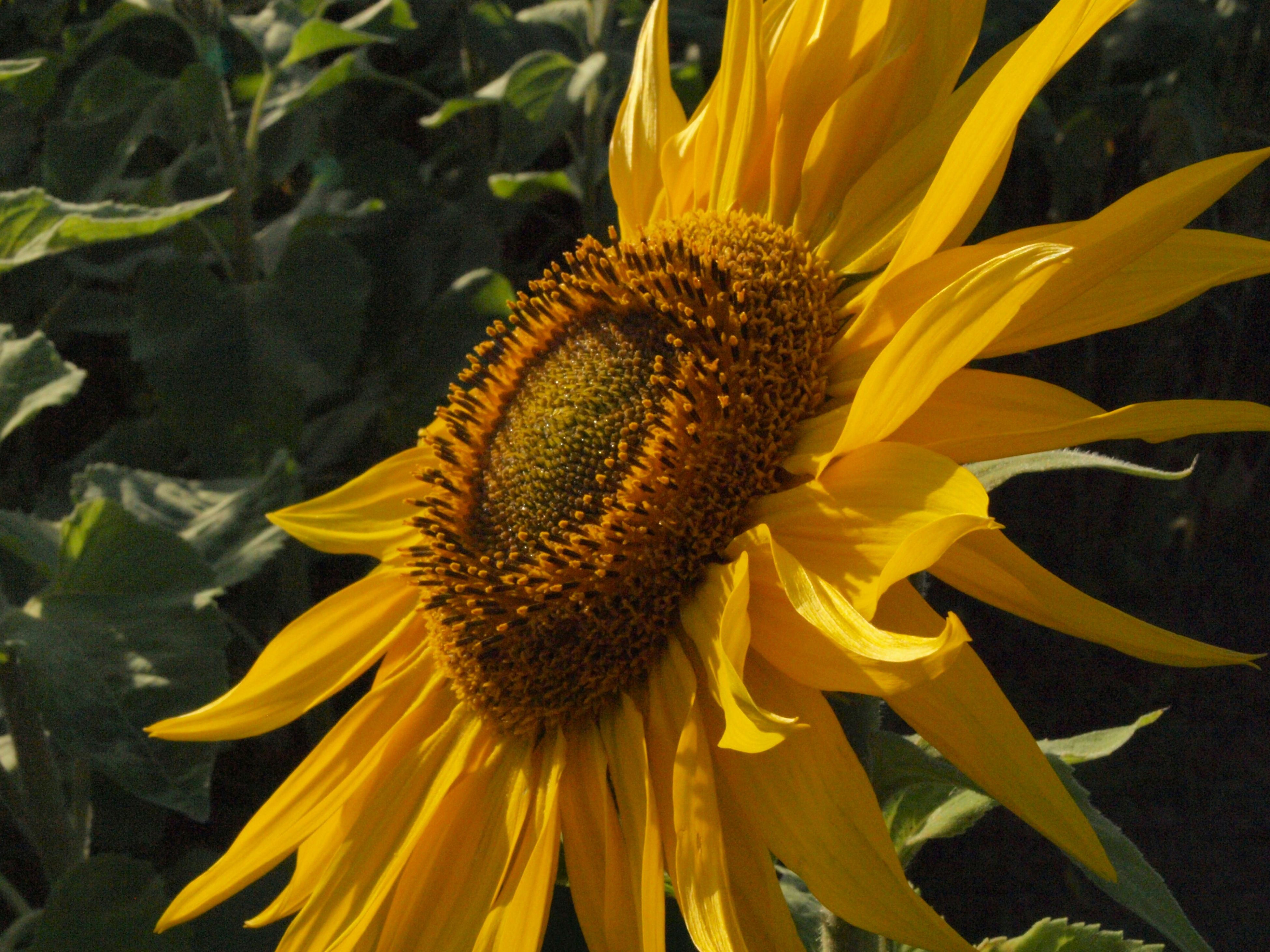 flower, yellow, petal, freshness, flower head, fragility, pollen, one animal, beauty in nature, growth, animal themes, close-up, animals in the wild, blooming, nature, plant, wildlife, sunflower, insect, single flower