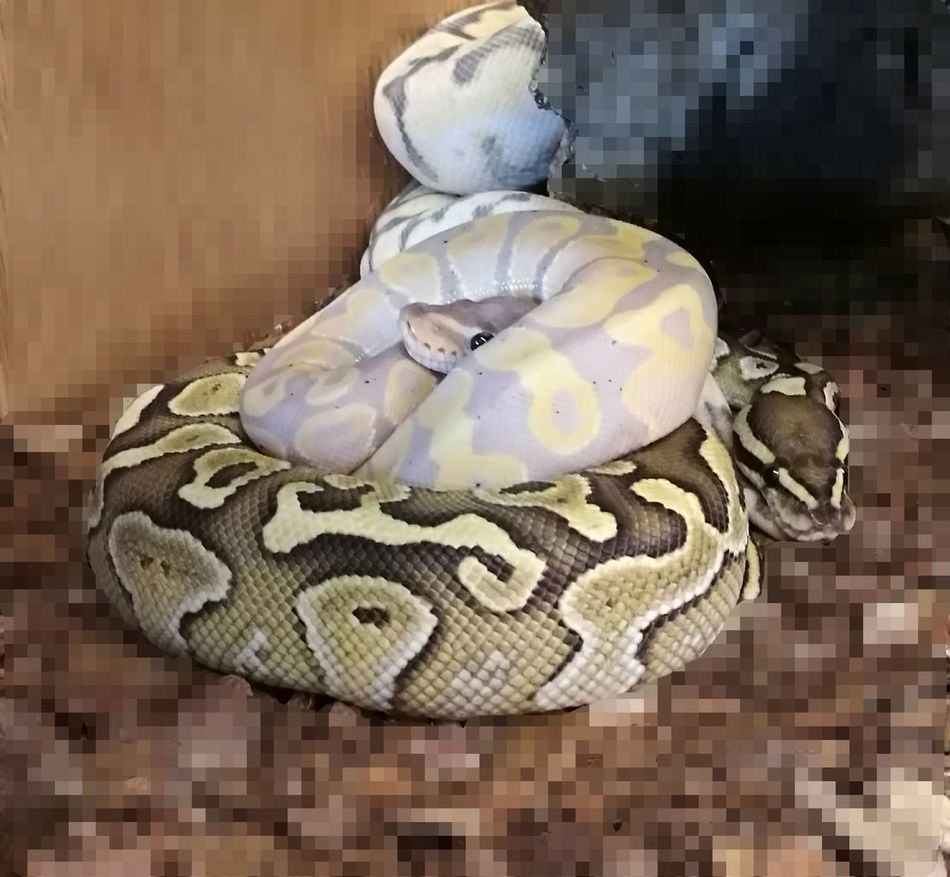 Urban Wildlife Animal Themes Tranquil Scene Idyllic Close-up Tranquility Beauty In Nature Heaven Reptile Animal Animal Wildlife Animal Scale Snakes Are Beautiful Snakes♥ Snake Eyes