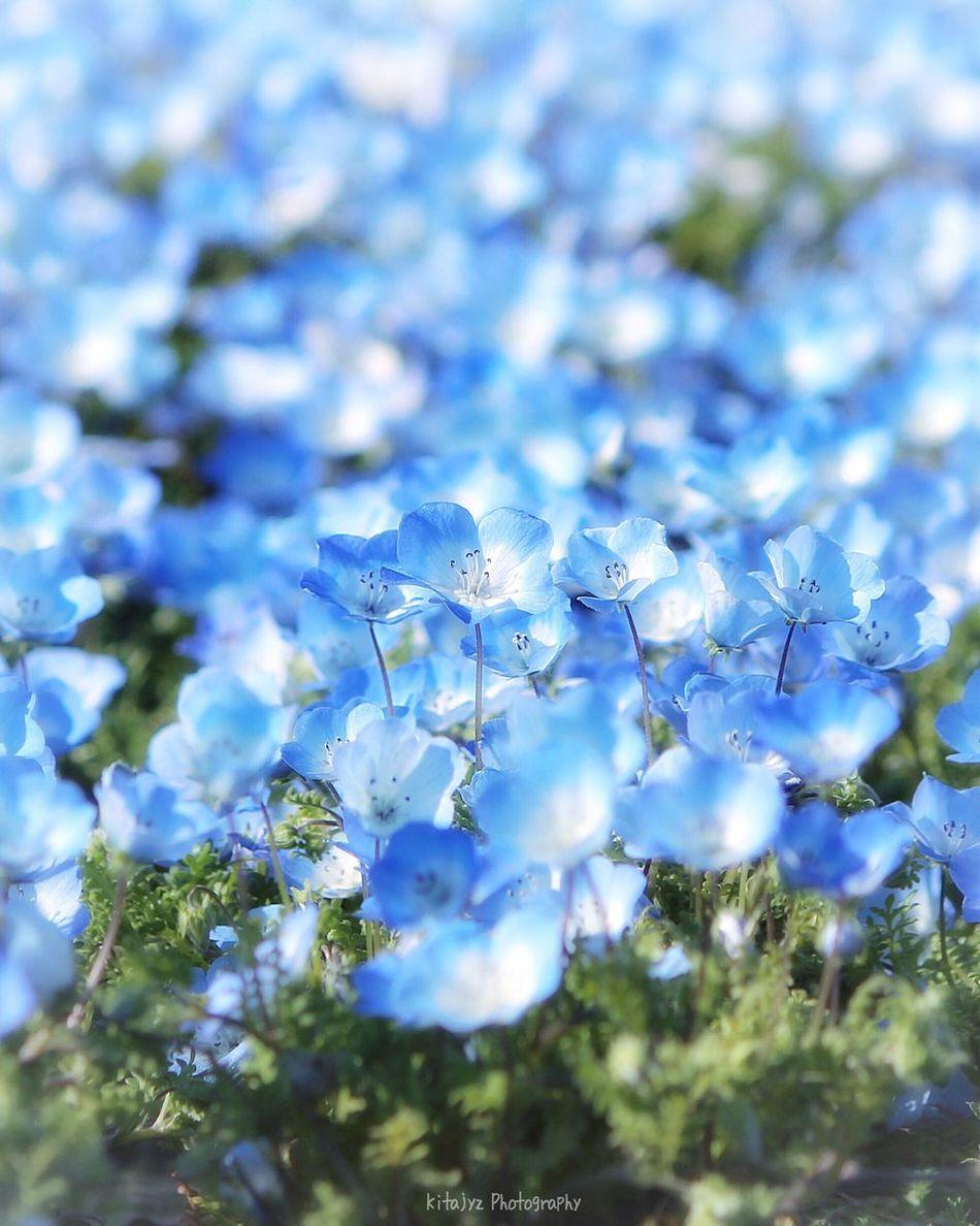 ネモフィラブルー💎福岡の海の中道海浜公園♪( ´θ`)ノ🍀綺麗ですよ〜九州にお越しの際は是非!チューリップ🌷も綺麗です^ ^ Nature Blue Beauty In Nature Close-up Flower Lovely Blooming Springtime Blossom Beautiful Nature Soft Light Flowers,Plants & Garden Flowers, Nature And Beauty Beauty In Nature EyeEm Nature Lover EyeEm Best Shots Tamron90mm Canonphotography Softness ネモフィラ 海の中道海浜公園 Bokeh Photography Japan Photography EyeEm Flower Low Angle View