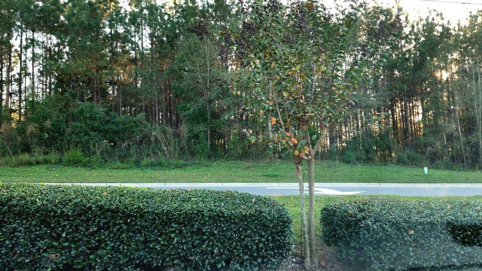 Trees Trees Green North Florida Winter