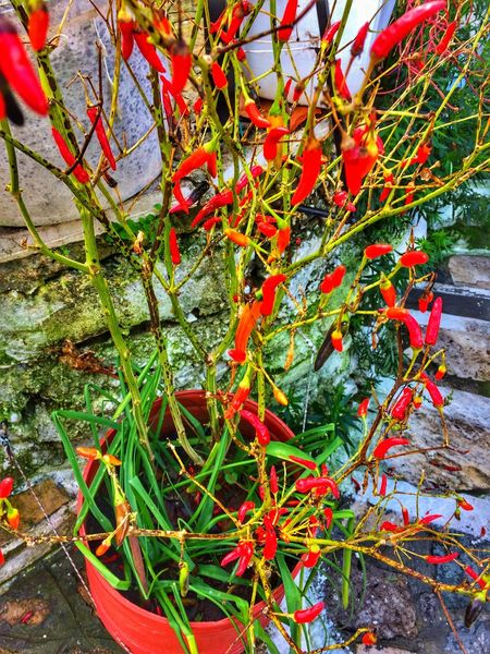 Red hot chilli Pot Plant Chilli Spice Hot Chilli Hot Chilli Red Growth Nature Leaf Food Stories Plant Freshness