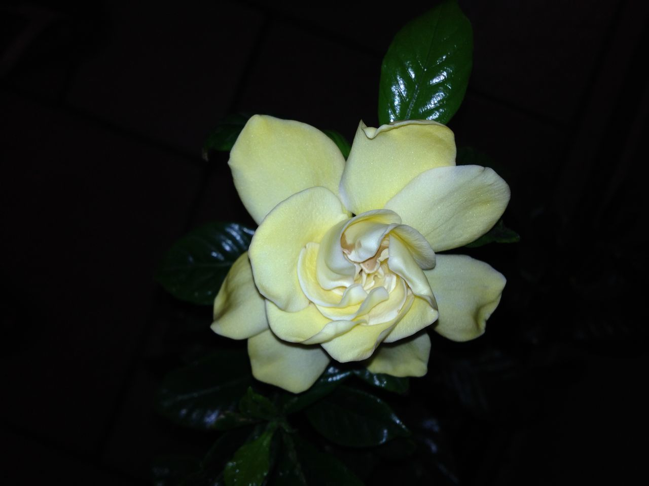 Gardenia Amarillo Flores Flower Gardenia Gardenia Flower Nature Petal Plant First Eyeem Photo