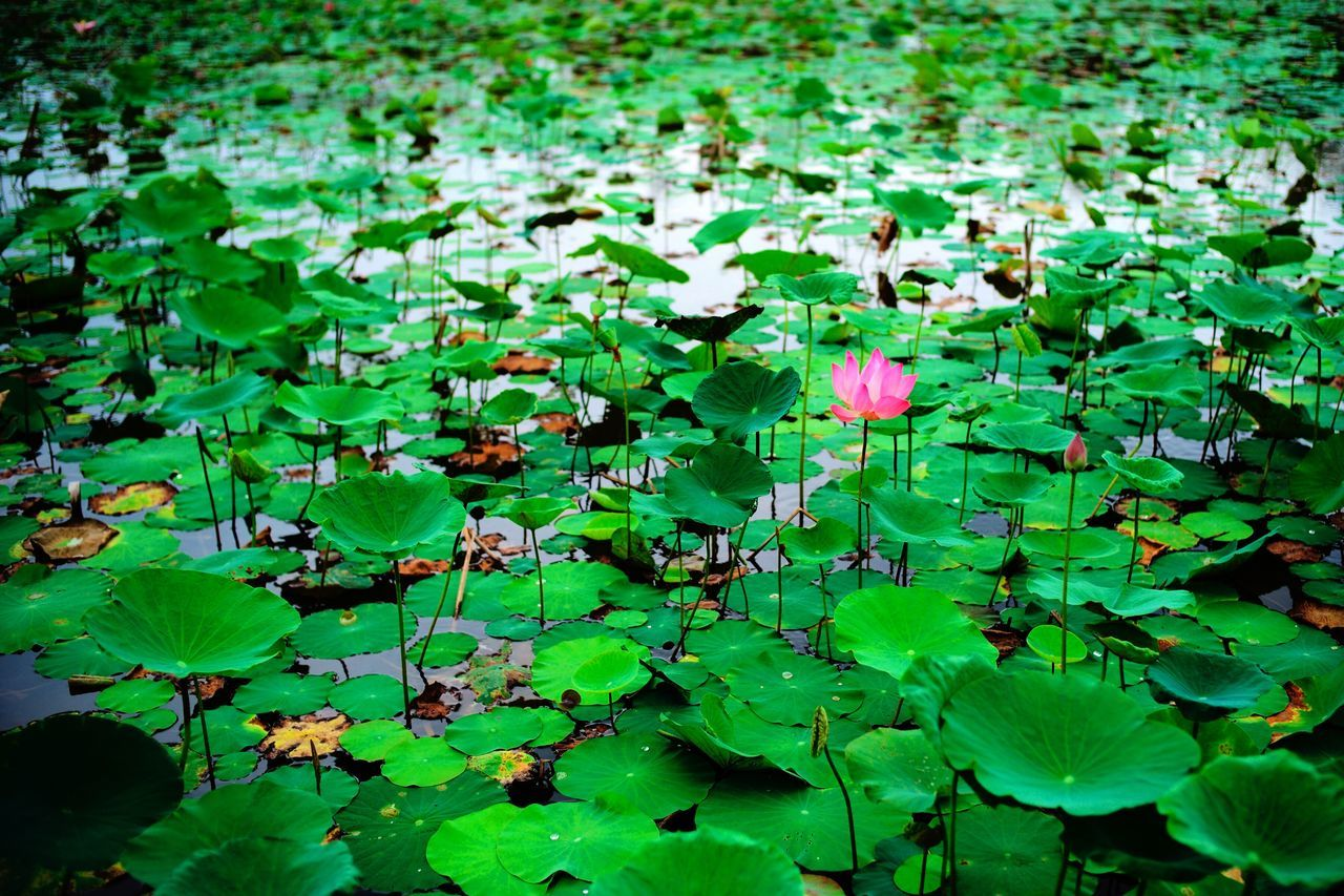 Leaf Nature Growth Green Color Plant Beauty In Nature Water Lily Leaves Green Flower Floating On Water Water Lily Pad Outdoors No People Petal Fragility Tranquility Day Lake