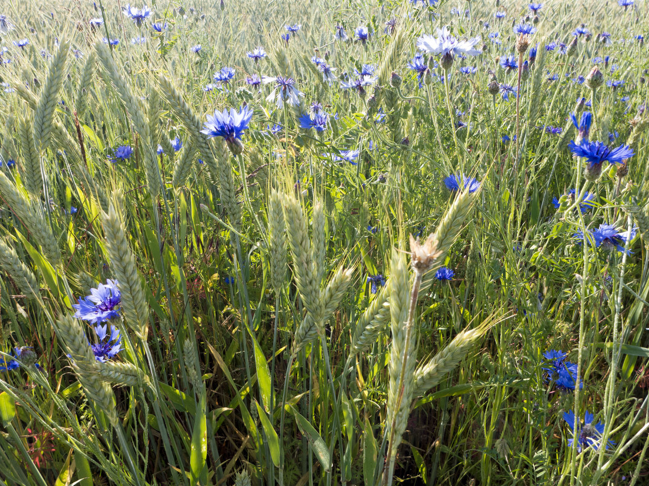 Agriculture Backgrounds Blossom Blue Blue Flowers Bluebottles Cereal Plant Cornflower Cornflower Blue Countryside Cyanus Field Flower Grainfields Green Growth Herb Kornblume Meadow Nature Plant Rural Summer Wild Wildflower
