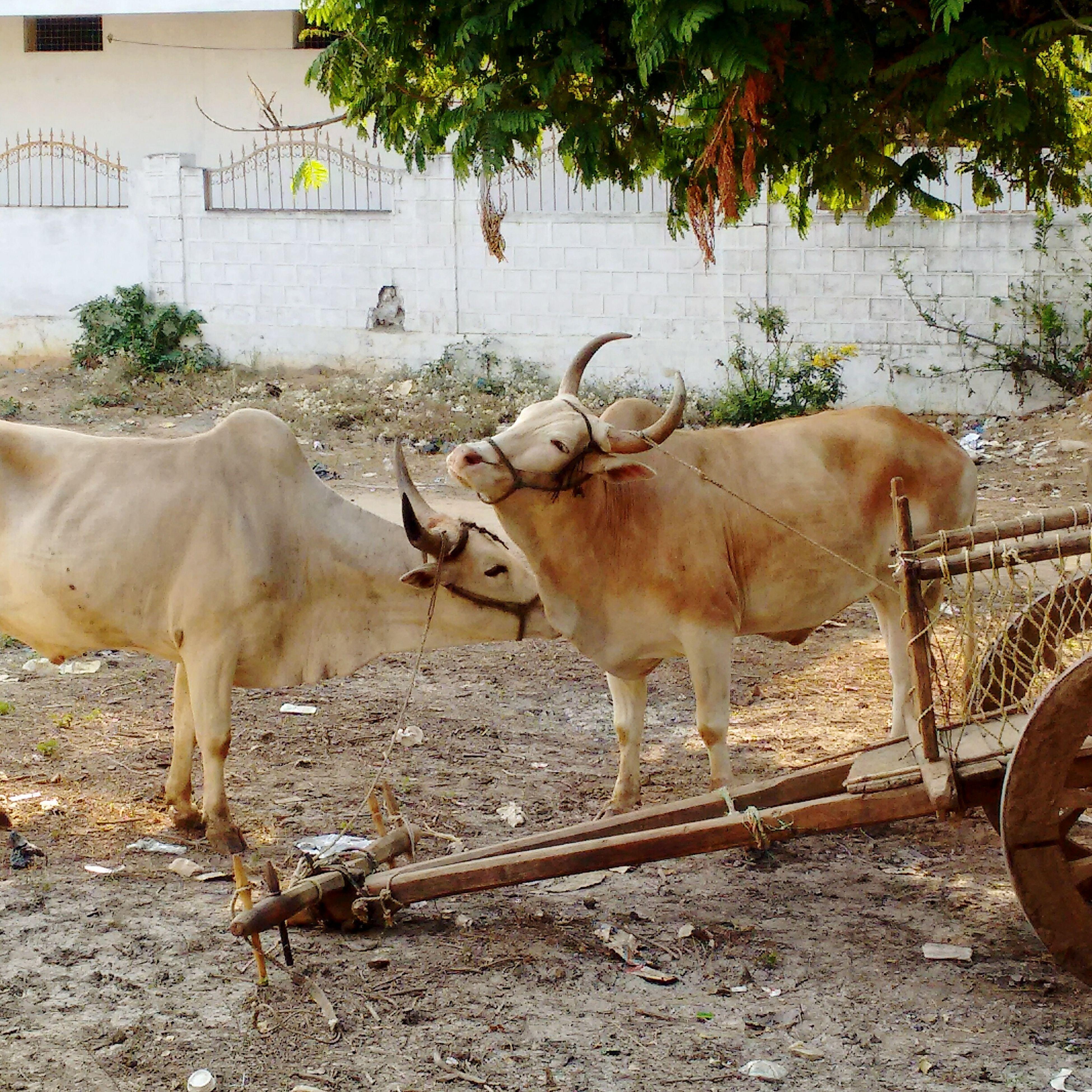 Q Taking Photos Animal Love Animal Photography Bulls Animals Share Love Indianphotography Indiancountryside