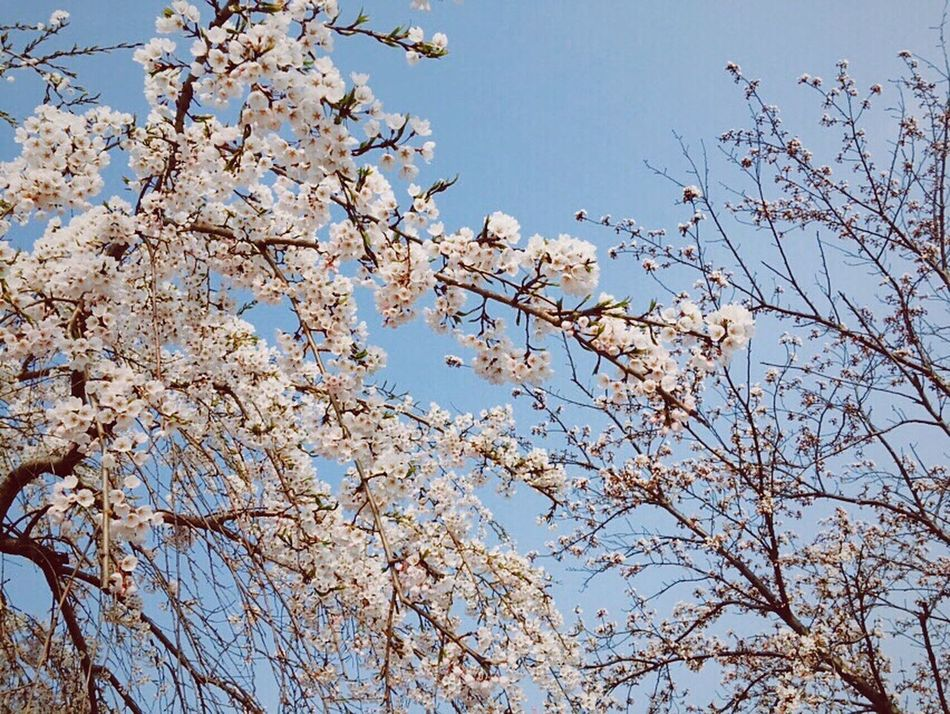 Cherry Blossoms Traveling Spring
