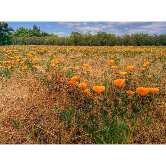 Out on the Farm ... Lockewoodacres Csa Rural Vacavilleca Agriculture California Poppy