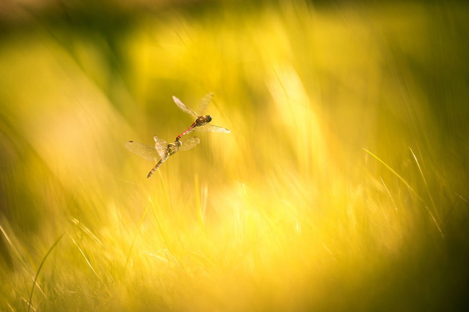 dragonflies mate in flight Animal Themes Animal Wildlife Animals In The Wild Backgrounds Beuty Of Nature Dragonfly Dragonfly Mating Dragonfly_of_the_day EyeEmNewHere Grass Growth Insects Collection Mate Nature Nature Of Latvia Nature_collection No People Outdoors Summer Meadow Summer Memories