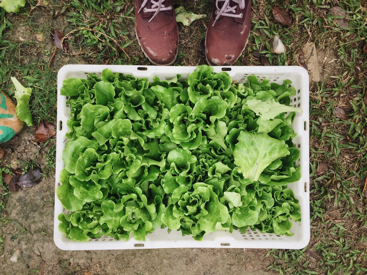my home grown veggie! Green Color Healthy Eating Freshness Vegetable High Angle View Food And Drink Food Plant Growth No People Crate Day Lettuce Outdoors Close-up Nature