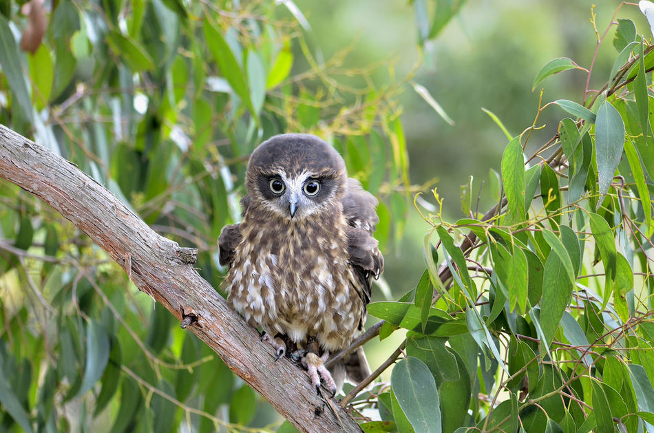Barking Owl in tree Barking_owl Bird Bird Photography Feathers GumTree Nature Outdoors Owl Predatory