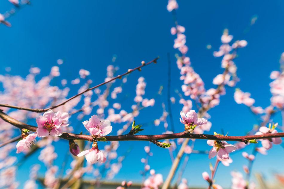 Blossom Beauty In Nature Blossom Blue Close-up Flower Freshness Nature Sky Springtime Tree Wide Angle