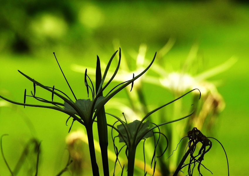 Spider Lilies Sunshine Light And Shadow EyeEm Nature Lover Tadda Community