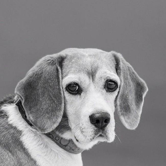 Beagle Beagledog Dogoftheday Portait Retrato Dog Beagles  Nature Canarias Canarios5estrellas Canariasviva Loves_canarias Ig_cuneo Icanarias_beautiful Igerslpa Lpashooters Nikonistas D3100